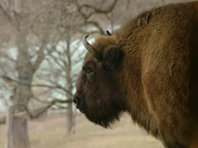 Aventuri la Târgu Neamț: safari la zimbrii istorici din Parcul Vânători + curs de olărit personaje din Creangă + vizită la o celebră țesătoare de covoare + cină cu bucate istorice + degustare de plăcinte locale și de țuică afrodisiacă!