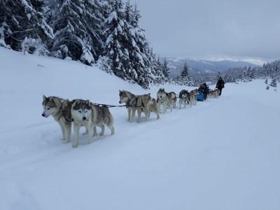 Aventură cu sania trasă de câini în Munții Harghitei!
